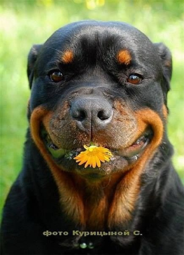 20 Seriously Adorable Funny Rottweiler Pictures All Rotty Fans